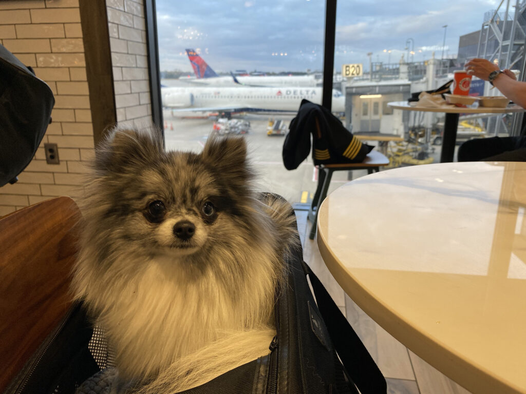 Pomeranian dog at the airport